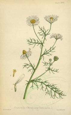 Echte Kamille - die Königin unter den Heilpflanzen The chamomile is probably the best known medicina Vintage Botanical Prints, Botanical Drawings, Botanical Art, Botanical Illustration, Vintage Prints, Éphémères Vintage, Wall Prints, Poster Prints, Nature Posters