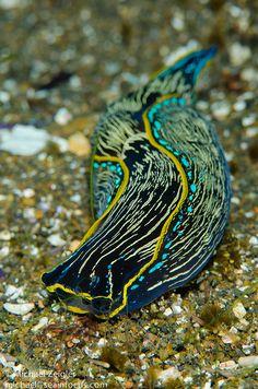 Sea slug on the hunt