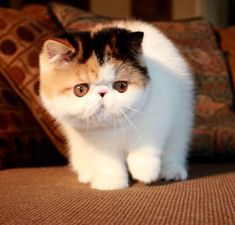 Purfurvid: Exotic Shorthair Cats & Persian Cats - GC RW Purfurvid Pop Gun of Toxicate Kittens Cutest, Cats And Kittens, Cute Cats, Cute Baby Animals, Animals And Pets, Animal Gato, Exotic Cats, Exotic Fish, Persian Kittens