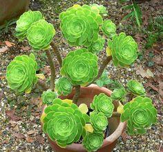 Aeonium Arboreum Var. Atropurpureum   Plants & Flowers