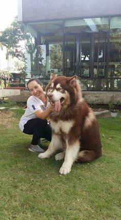 Alaskan Malamute Dog Breed Information, Beliebte Bilder - Husky - Hunde Giant Alaskan Malamute, Alaskan Malamute Puppies, Malamute Dog, Husky Dog, Huskies Puppies, Baby Huskies, Alaskan Husky, Huge Dogs, Giant Dogs