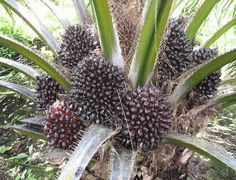 """Oil palm crop is source for edible vegetable seed oil which is popularly known as """" palm oil"""". There is a huge dammed for vegetable seed oils across the world and oil palm is one of them. Agriculture Farming, Palm Oil, Seed Oil, Seeds, Fruit"""