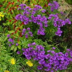 Aster Purple Dome - Buy New England Aster Perennials Online