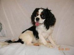 Tiny Male Cavalier King Charles is an adoptable Cavalier King Charles Spaniel Dog in Ruma, IL. Tiny male Cavalier King Charles 4 Years old 18 lbs. This little boy came from a breeder wanting to down s...