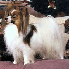 The Papillon dog so cutest and adorable, also called the Continental Toy Spaniel, is a breed of dog of the Spaniel type. One of the smallest dog in the world. Corgi Mix Breeds, Dog Breeds List, Small Dog Breeds, Small Dogs, Chihuahua Dogs, Dogs And Puppies, Doggies, Papillion Dog, Papillon Puppies