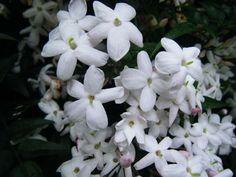 Jasminum polyanthum (Many-flowered jasmine) added by Laura Thomas