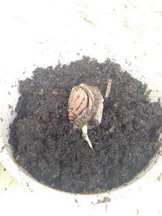 Faire germer un noyau de peche http://www.caboucadin.com/jardinage-enfant/faire-pousser-noyau-peche.php