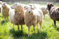 Blackberry farm sheep Farm Dogs, Sheep Farm, Farm Restaurant, Online Boutique Stores, Farming S, Livestock, Hotels And Resorts, Blackberry, Tours