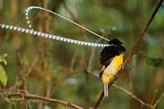 King of Saxony Bird-of-paradise | Special muscles let the King of Saxony bird of paradise swing each ...