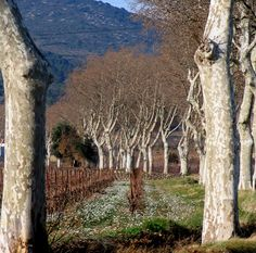 Plane trees on the road to Camplong - Aude France