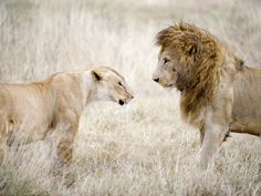 Lion and a Lioness