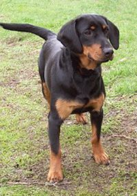 Slovensky Kopov Animal Projects, Dog Breeds, Foundation, Pets, Pictures, Animals, Animals And Pets, Animales, Animaux