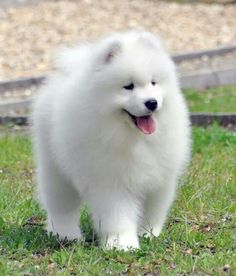Samoyed puppy - so cute ❤️