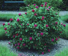 Rose 'de Rescht' - I wish mine looked like that - it's struggling.