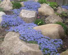 "Groundcovers | Speedwell (Veronica umbrosa) 'Georgia Blue' | Tough, versatile plant, blanket of blue flowers spring into summer, small dark green glossy leaves turn burgundy in winter, well-drained soil, requires little maintenance, grows in sun or part shade, rain or drought | containers, rock garden, under trees 6""Hx1-3'W, butterflies"