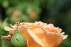"""Soms heeft ook  deze plant  even"""" EHBO hulp"""" nodig van de  Solitairpinnen  van www.detuinfee.nl."""