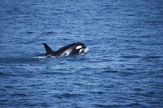 Baleias em Victoria. Canadá.