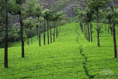 Talayar Tea Estates, Munnar