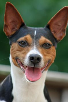 Rat Terriers are always smiling!