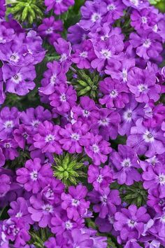 Purple Flowers for the Garden: Superbena Violet Ice Verbena These purple flowers have icy white cent Purple Plants, Purple Flowers, Pretty Flowers, Succulents Diy, Planting Succulents, Planting Flowers, Succulent Planters, Easy To Grow Flowers, Growing Flowers