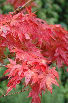 Japanese Maple (Acer palmatum) at Oakland Nurseries Inc
