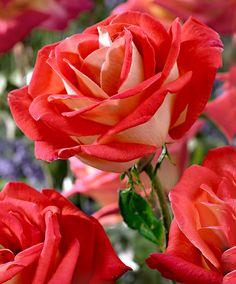 Rose Grandiflora 'Gallivarda' - Cespuglio
