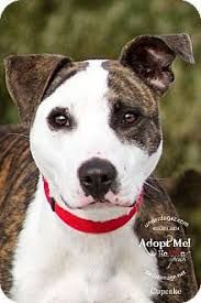 Image result for American Pit Bull Terrier mix