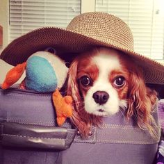 Abbey bella cavalier, be cool, floppy da frog...be...cool. this is our ticket to this vacation with human. btw, what the fluff is this gigantic hat about?
