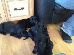 Just took this photo. Flat coat retriever puppies. My favourite dog.