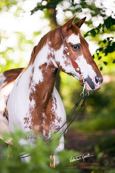 Oh! Aren't you a pretty horse! Gorgeous horse photography.  Paint - Pinto Horse
