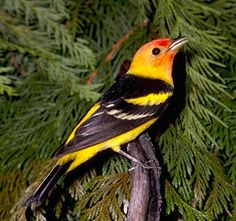 I saw my first Western Tanager last Summer on Whidbey Island WA I knew it immediately, so gorgious.