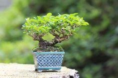 Blog super mini bonsai Mini bonsai of privet (10 cm class)