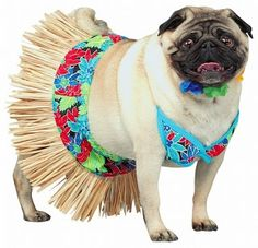 BooBoo Kitty Couture: Pugs Dressed Up