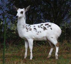 White Fallow Deer Hledat Googlem Nezvykle Zbarveni Jelenoviti
