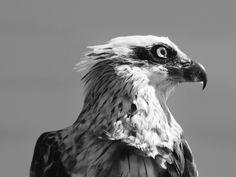 Osprey  Photo Marj Webber