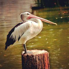 #pelican #treestump #water #birds #birdpark by monVster, via Flickr