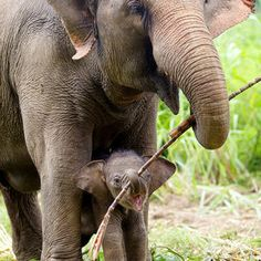 Mother Elephant helping her Baby Calf Carry a stick to play with, when they get home to rest (mamá elefante y su cría con un palo para jugar). Cute Baby Animals, Animals And Pets, Funny Animals, Wild Life Animals, Nature Animals, Beautiful Creatures, Animals Beautiful, Beautiful Babies, Elephant Love