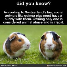 According to Switzerland's law, social animals like guinea pigs must have a…