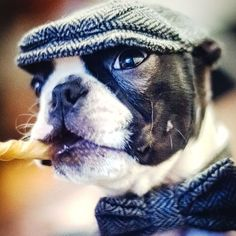 "Check out our site for additional info on ""Boston terrier puppies"". It is actually a great spot to read more. Puppy Care, Pet Puppy, Puppy Grooming, Chihuahua Dogs, Bulldog Puppies, Pet Care, Boston Terrier Love, Boston Terriers, Boston Terrier Temperament"
