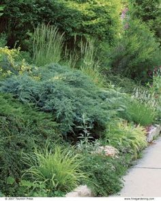 Designing with Dwarf Conifers  A creeping blue juniper cascades on a rocky slope and serves as a centerpiece among seasonally changing plantings.