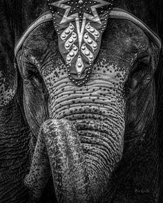 Circus Elephant - Original fine art black and white film photography by Bob Orsillo.  Copyright (c)Bob Orsillo / http://orsillo.com - All Rights Reserved.