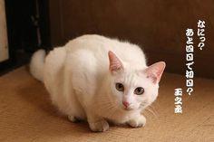 Twitter / nekozamuraiinfo: 玉之丞さま、今さらお気づきでございますか? #猫侍