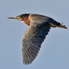 I didn't take this photo - but I just saw this image fly across my window!  A Green Heron! Jon has seen him a couple of times, he's a sneaky fellow. I ran out to get a photo, but didn't get a good one.
