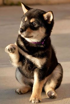 Love Shiba Inu's? We do too!!