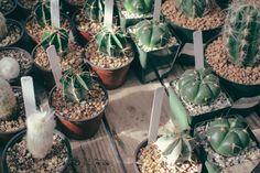 Green Cactus, Cactus Plants, Cacti, Succulents Garden, Planting Flowers, Plante Zz, Diy Pour Chien, Crassula, Gutter Garden