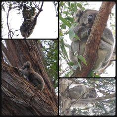Great Ocean Road  少し内陸を通る道をチョイス  そこでまさかの野生のコアラに遭遇 いつか見れならいいなーと思ってたからめっっちゃテンション上がった すっごい可愛いわー よく探したらちょこちょこ見つかる さすがAustralia #melbourne #australia #メルボルン #オーストラリア #オーストラリアラウンド旅 #greatoceanroad #グレートオーシャンロード #コアラ #koara by shizuko_bbd