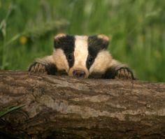 Image Wild Creatures, Woodland Creatures, Woodland Animals, Baby Badger, Honey Badger, Baby Animals, Funny Animals, Cute Animals, Beautiful Creatures