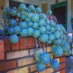 80 Best Succulent Garden Ideas For You Garden Succulent/Cactus lover. - 80 Best Succulent Garden Ideas For You Garden Succulent/Cactus lover % - Hanging Succulents, Cacti And Succulents, Cactus Plants, Garden Plants, Indoor Plants, Propagate Succulents, Blue Plants, Growing Succulents, Green Garden
