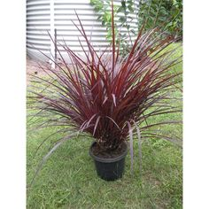 Find 175mm Cordyline Designer Burgundy at Bunnings Warehouse. Visit your local store for the widest range of garden products.