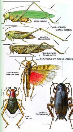 THE MAJOR INSECT ORDERS